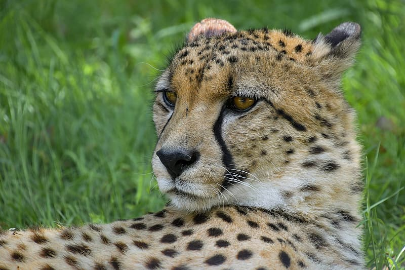 Cheetah lying on grass during day