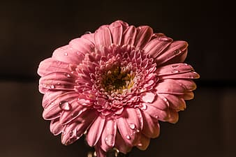 Pink gerbera daisy flower in close up photography