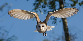White and beige owl flying during daytime
