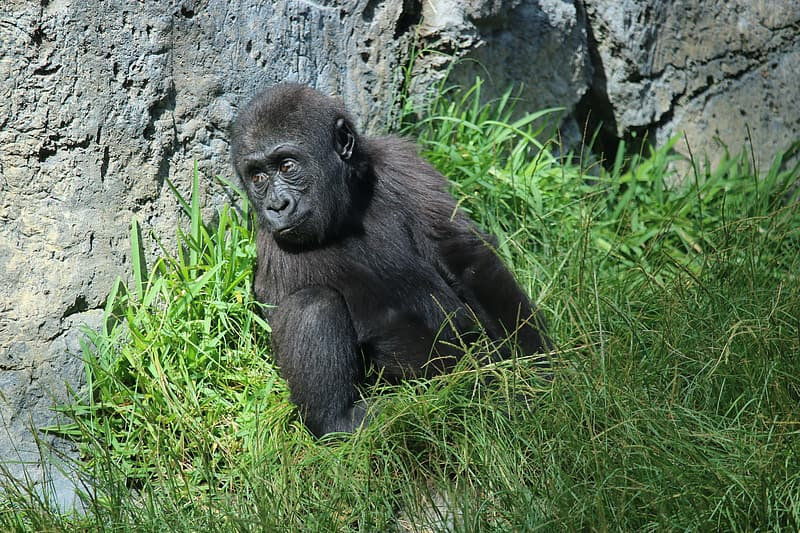 Black gorilla on green grass during daytime