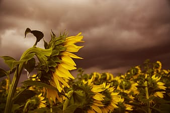 Yellow flower under gray clouds