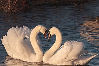 Shallow focus photography of two white swans