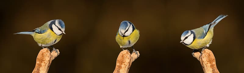Three yellow, white, and blue bird perch on branch close-up photography