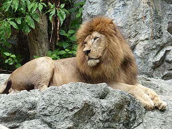 Male lion prone lying on rock surface at daytime