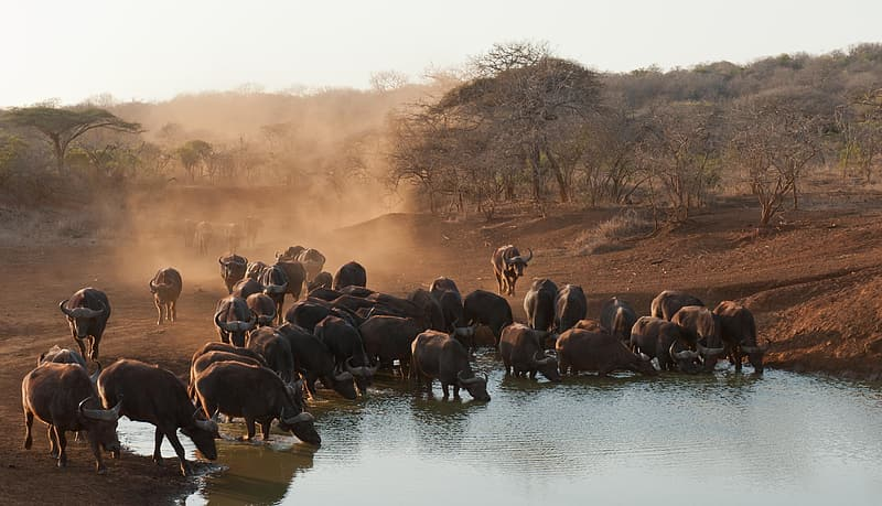 Herd of water buffalo on body of water