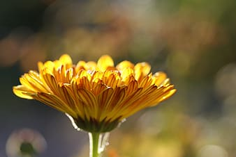 Yellow daisy flower in bloom close-up photo