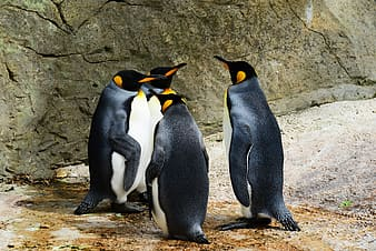 Selective focus photography four penguins