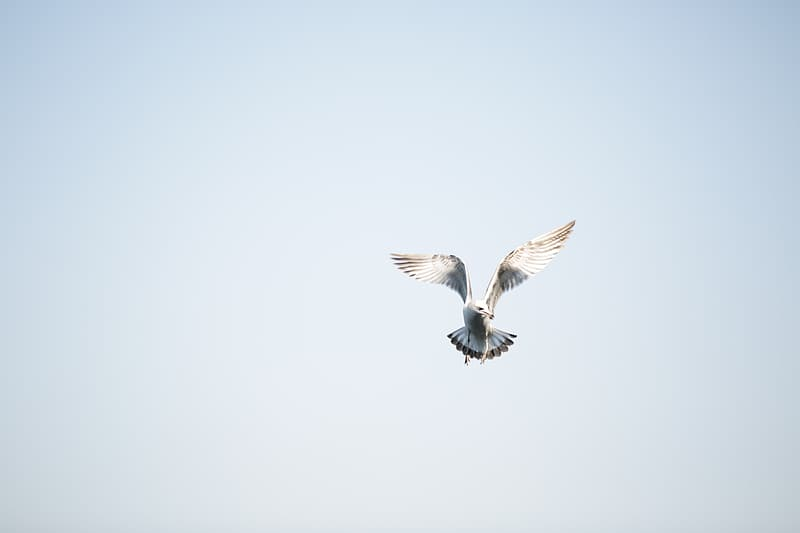 White and grey ring-billed gull flying