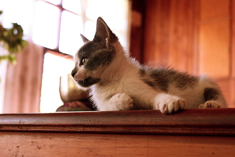 White and gray fur kitten on top of brown wooden surface