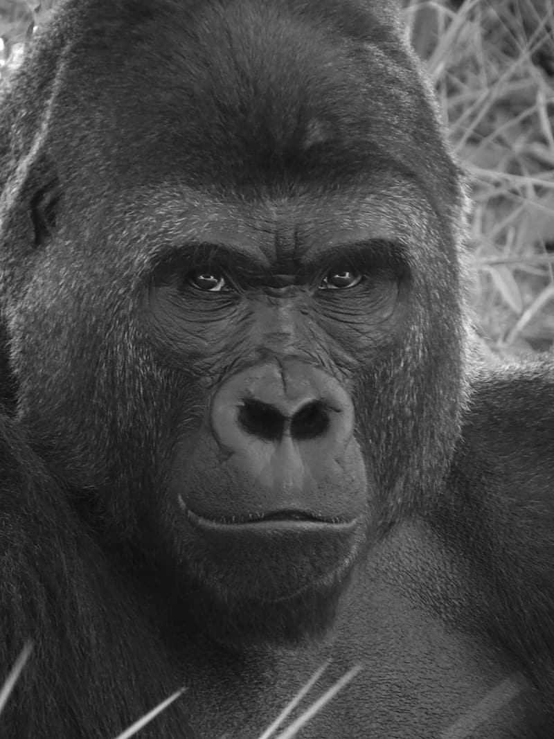 Close-up and grayscale photo of gorilla