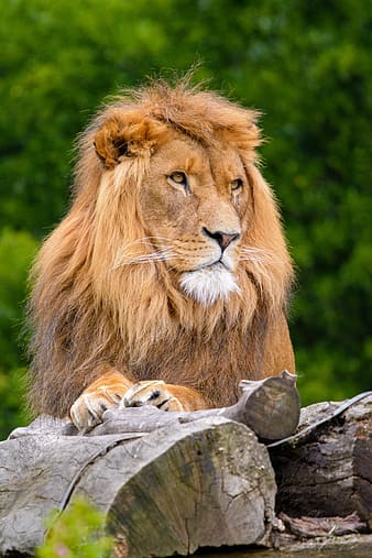 African Lion, brown lion