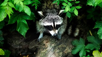 Animal photograph of raccoon