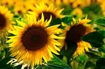 Shallow depth of field photo of sunflower
