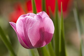 Selective photography of pink tulips