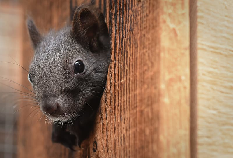 Black rodent on brown wooden surface
