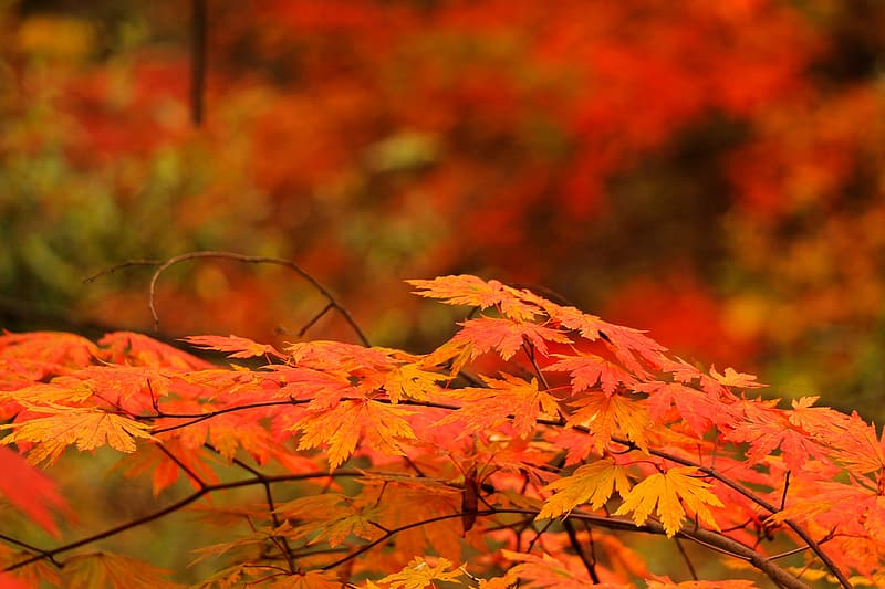 Close-up photo of maple leaf during autumn