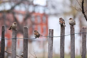 Flock of house sparrows perched on brown wooden fence