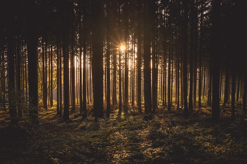 Sun setting over trees in forest