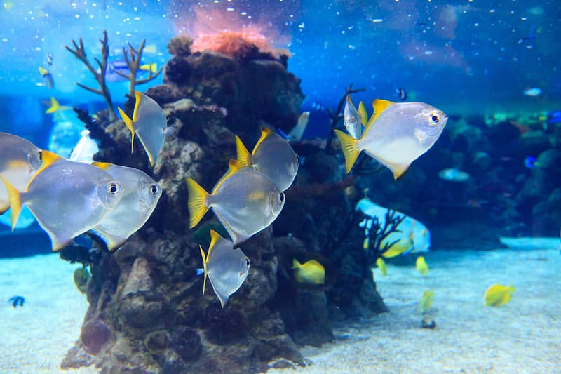 White and yellow saltwater fish