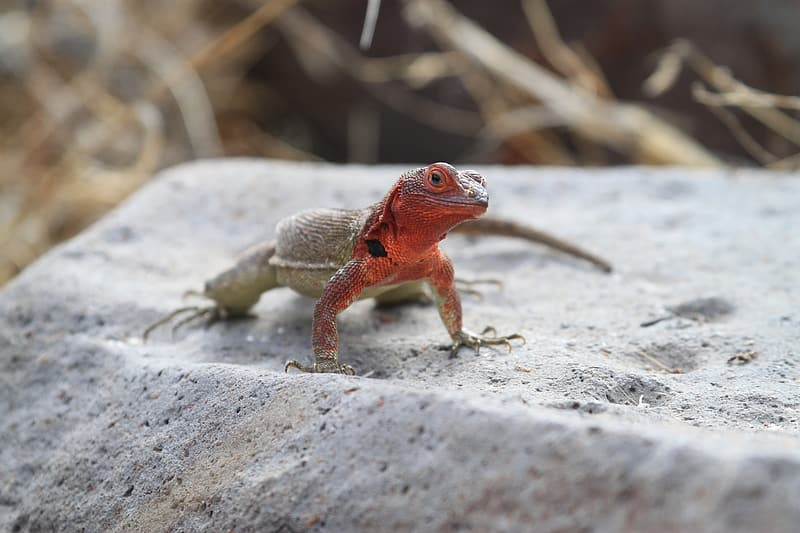 Red and brown lizard on gray rock