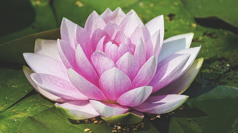 Close-up photo pink and white lotus flower