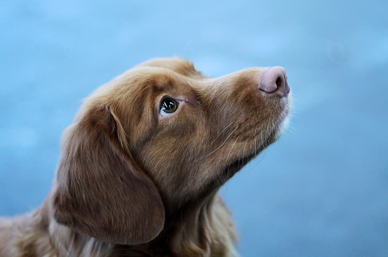 Brown long coated dog in close up photography