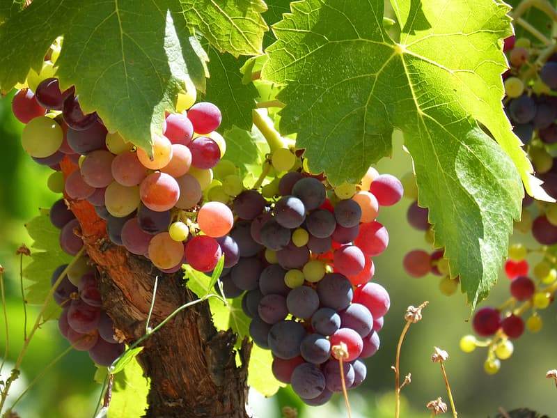 Shallow focus photography of grapes