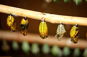 Five butterfly cocoons
