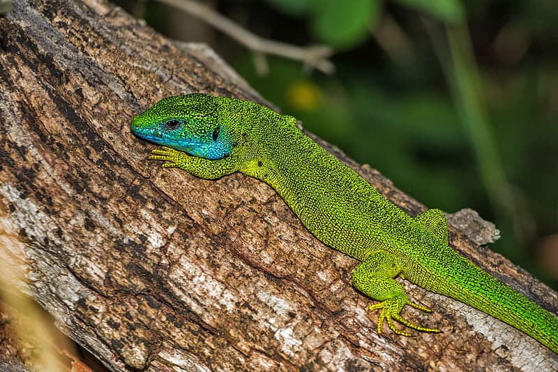 Green lizard attached on tree trunk