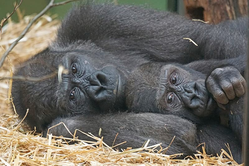 Two primates lying down