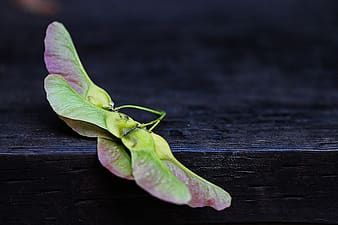 Green and maroon butterfly leaf