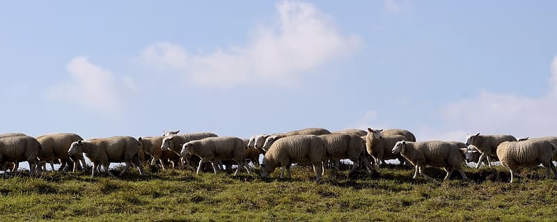 Herd of sheep on grass