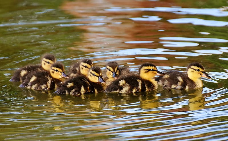 Flock of ducklings on body of water during daytime