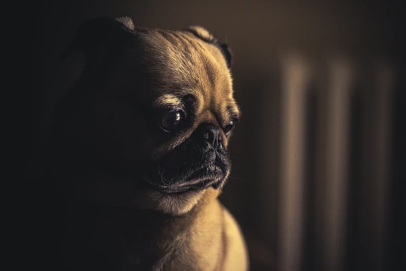 Fawn pug in close up photography