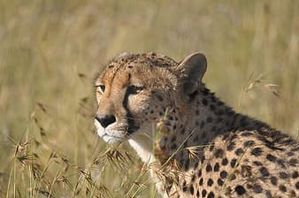 Leopard on green grass at daytime