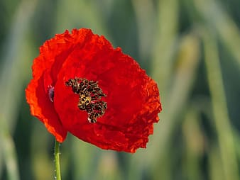 Closeup photo of a red poppy flower