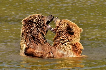 Two bears fighting on water