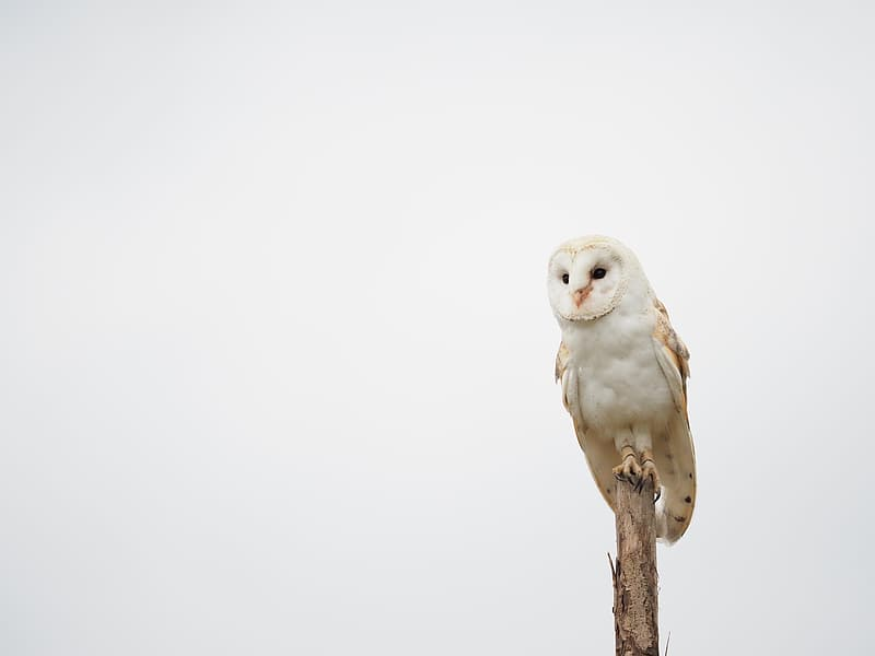 White owl perched on brown tree branch