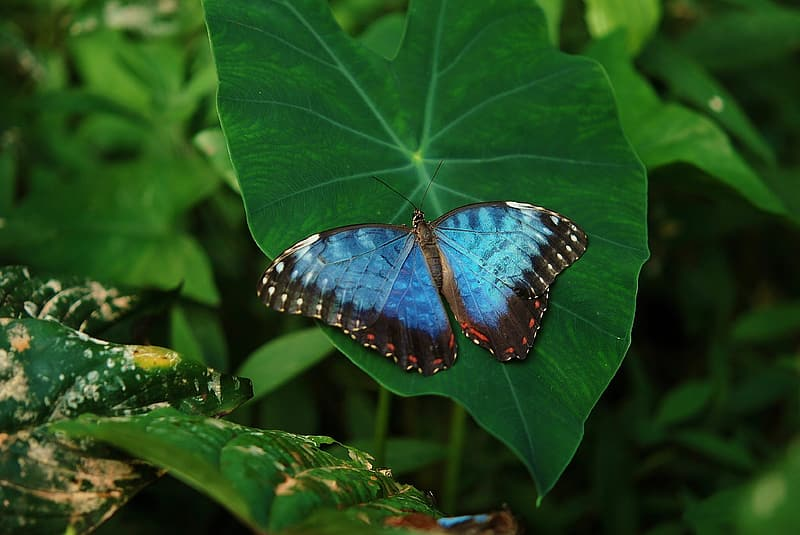 Morpho butterfly perched on green leaf plant in closeup photography
