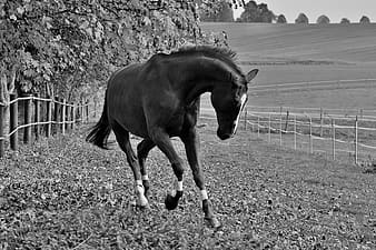 Grayscale photograph of horse on ranch
