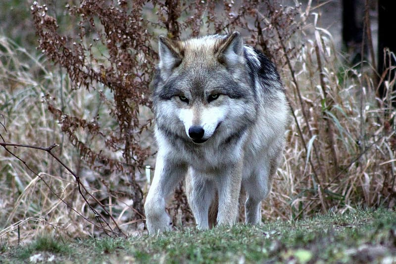 Wildlife photography of gray and white wolf