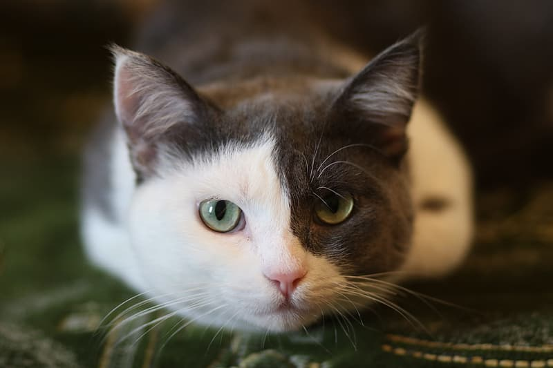 White and gray cat leaning on green textile