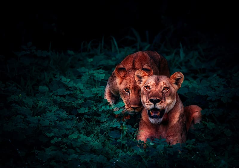 Selective focus photography of two lions
