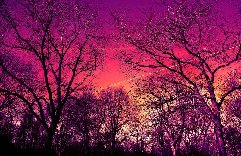 Bare trees during sunset