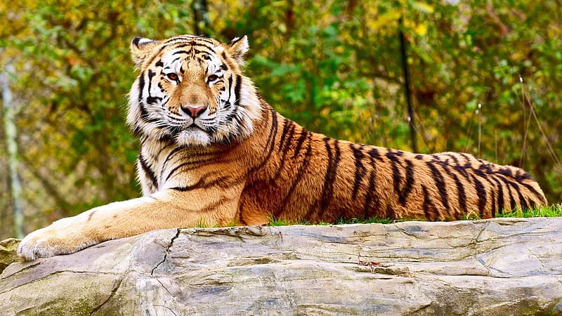 Yellow and black tiger resting on gray rock