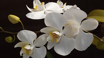 White moth orchids in closeup photography