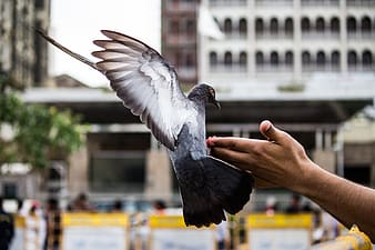 Rock dove on person's hand