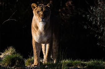 Lioness standing on ground
