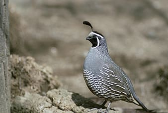 California quail standing on gray rock during daytime
