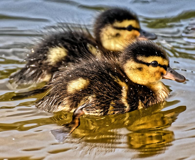 Black and yellow duckling on water